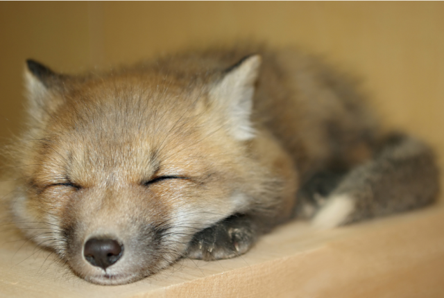 sleeping-fox